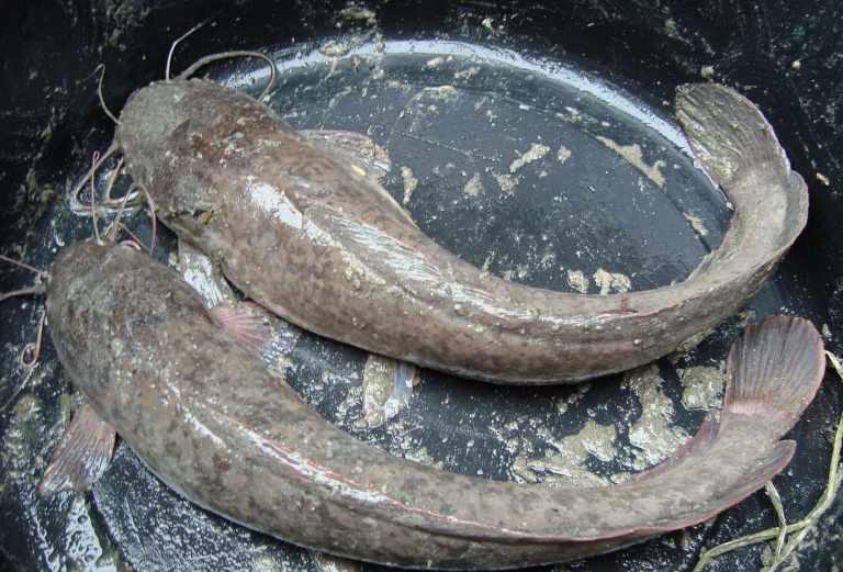 25 Umpan Ikan Lele Harian Paling Jitu 2020 Ampuh Eightsun