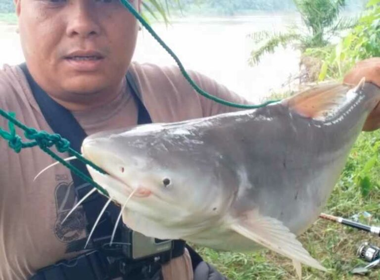 Cara membuat umpan ikan patin paling jitu