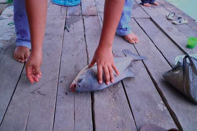 Umpan ikan bawal paling jitu