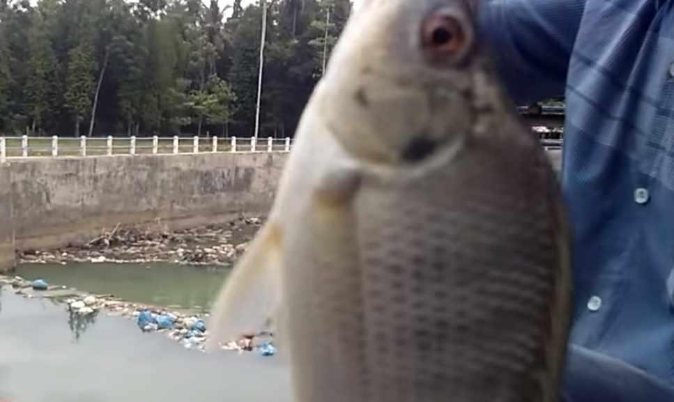 Umpan ikan nila liar