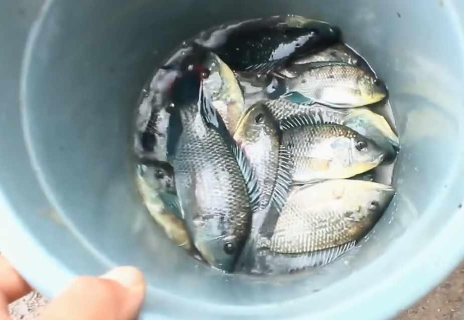 Umpan jitu ikan mujair