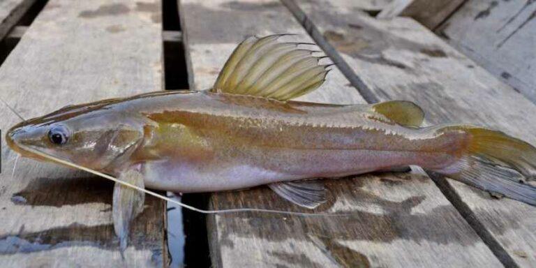 Umpan ikan baung