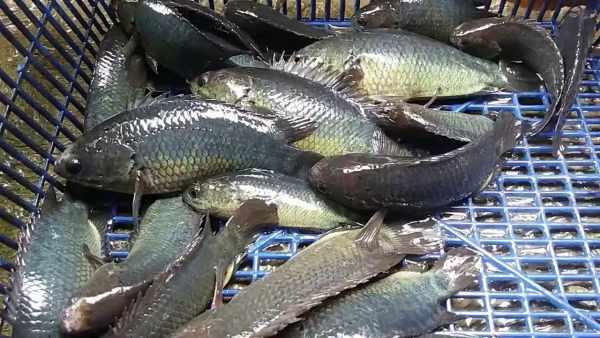 Umpan ikan betok paling jitu