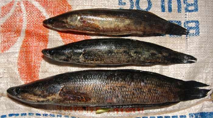 Umpan ikan gabus alami