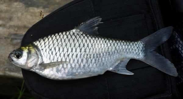 Umpan ikan kakap bakau