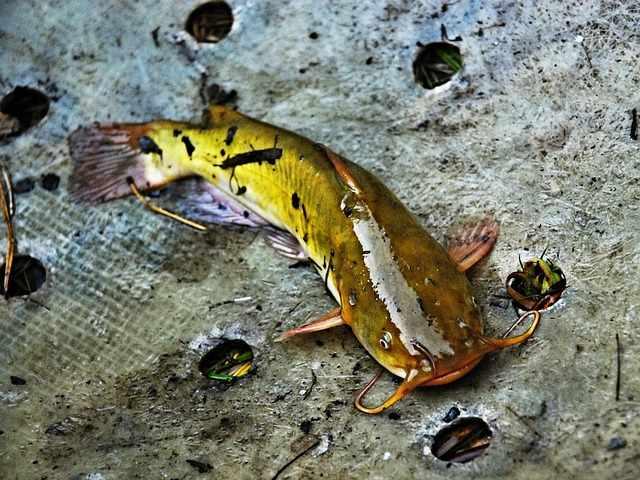 Umpan ikan kakap sungai