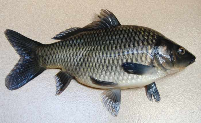 Umpan ikan tombro paling jitu