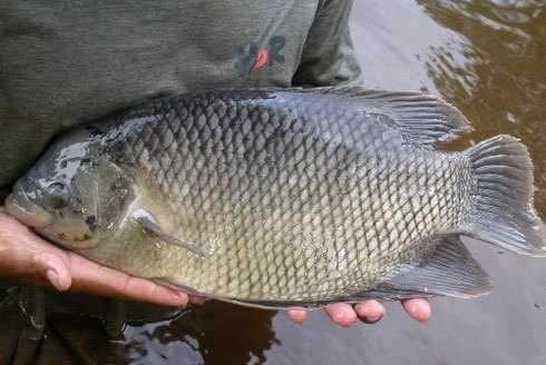 Cara budidaya ikan gurame di kolam terpal, tembok, kecil