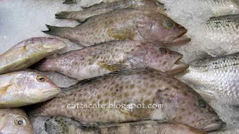 Harga bibit ikan kerapu