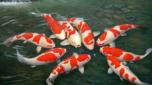 Makanan alami ikan koi kecil dan besar