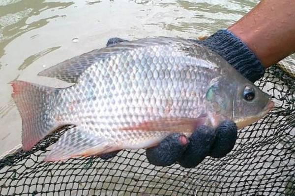 Cara Budidaya Ikan Nila Di Kolam Beton