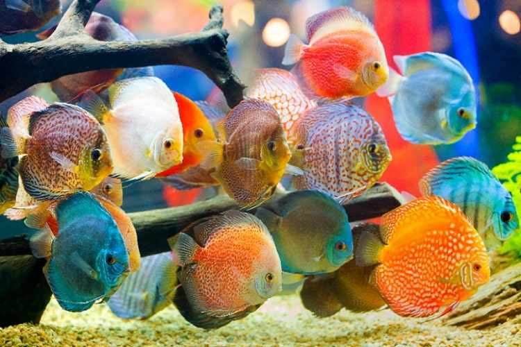 Cara budidaya ikan hias air tawar