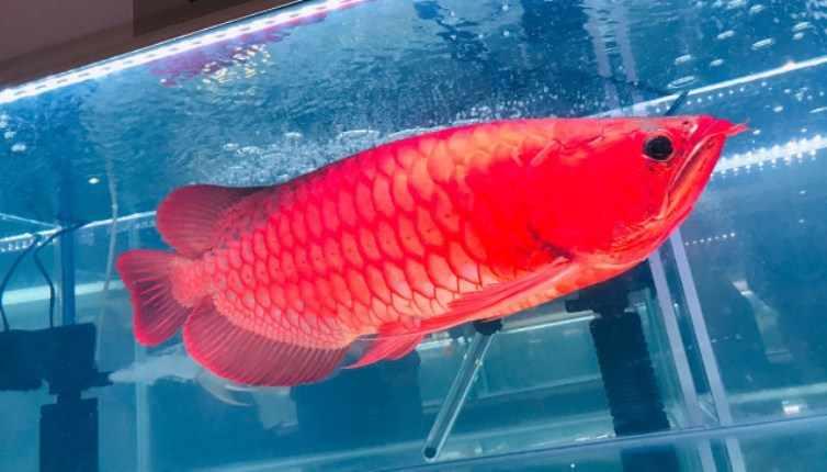 Daftar Harga Ikan Arwana Anakan Di Pasaran