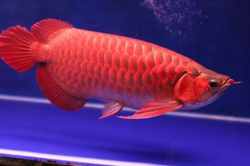Daftar Harga Ikan Arwana Di Pasaran