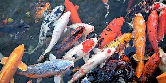 Fase Hidup Ikan