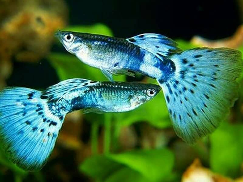 Harga Ikan Guppy Di Pasaran