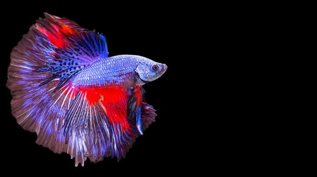 Jenis Ikan Cupang Aduan