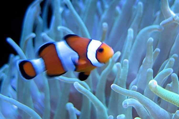Pengertian Daur Hidup Ikan