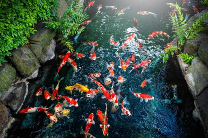 Cara Budidaya Ikan Koi Di Kolam Beton