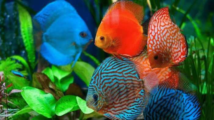 Jenis Ikan Discus dan Harganya