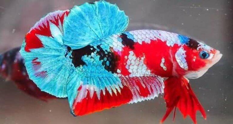 Makanan Ikan Cupang
