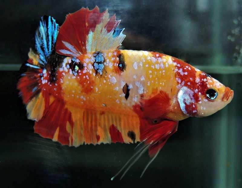 Makanan Ikan Cupang Agar Bagus