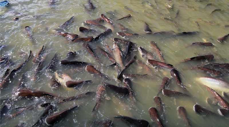 Makanan Ikan Lele Biar Cepat Besar