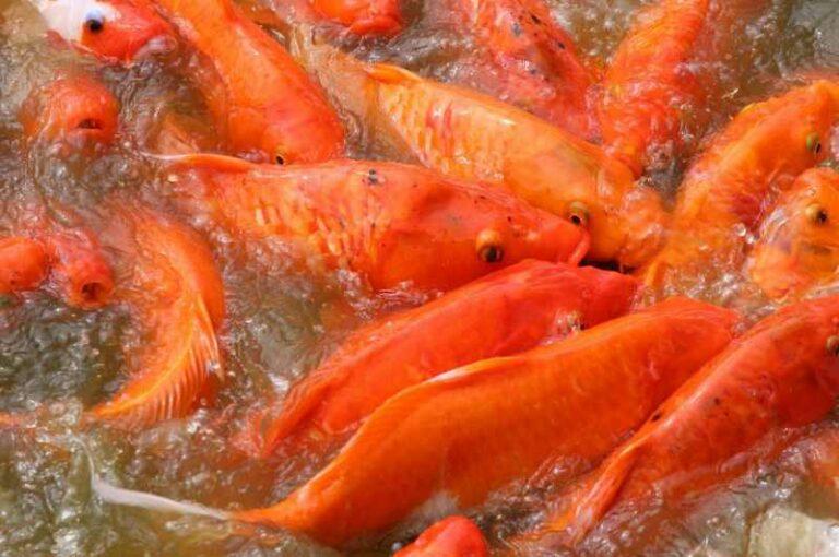 Makanan ikan mas
